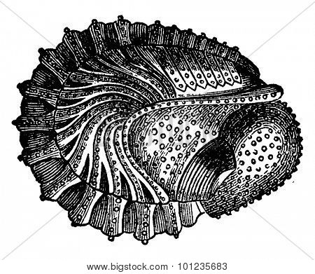 Crustaceans of the Devonian period, Phacops latifrons, Wraps, vintage engraved illustration. Earth before man 1886.
