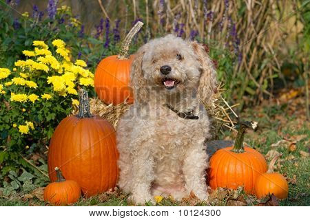 A cockapoo pup  in the Fall
