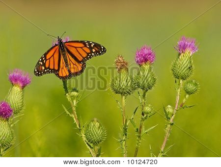 A Butterfly On Thistle