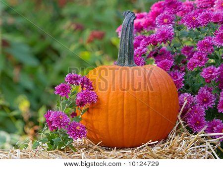 A Pumpkin and Mums