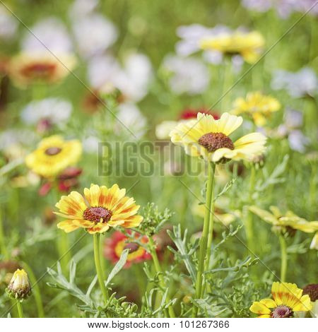 Summer Sunlight Scene: Multicolor Camomile Flowers On Green Grass