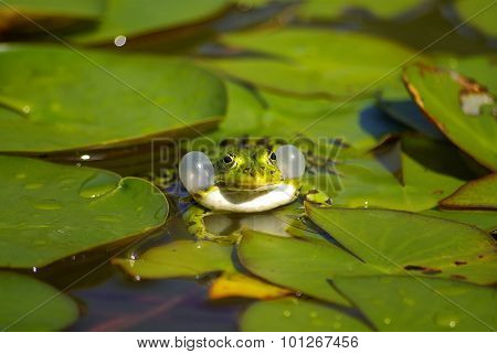 Calling Water Frog