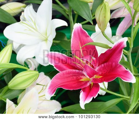 Soft Focus Of Pink And White Lily