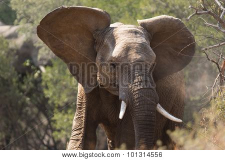 Young Adult Elephant