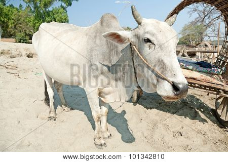 Ox In Mingun, Myanmar