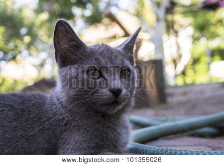 Portrait Of Grey Fearsome Highbred Cat