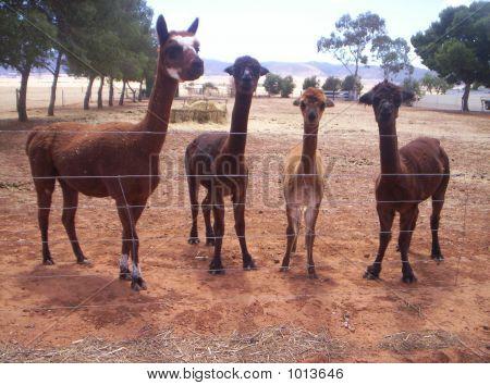 Lama Group