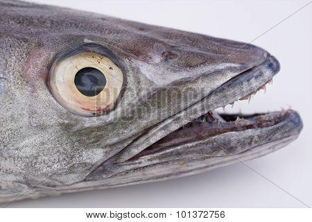 Hake fish head
