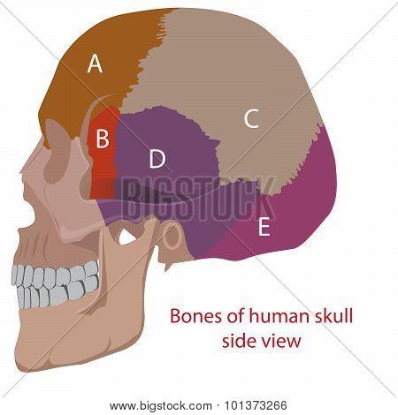 bones of human head