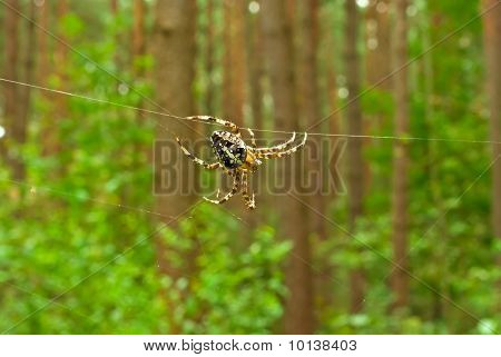 Cross Spider On Forest Background