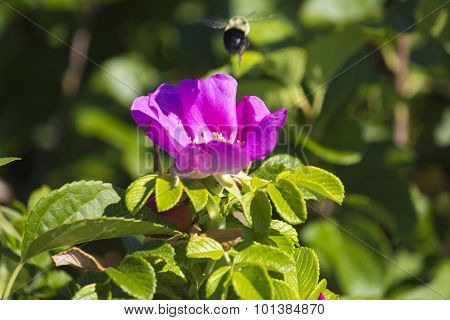 Bumble bee hoovering over a wild rose