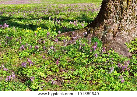 Flowering Corydalis Halleri, Corydalis Solida