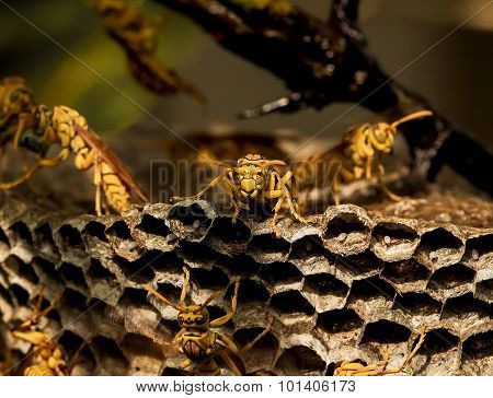 A mature wasp ( Apocrypha ) at it's nest