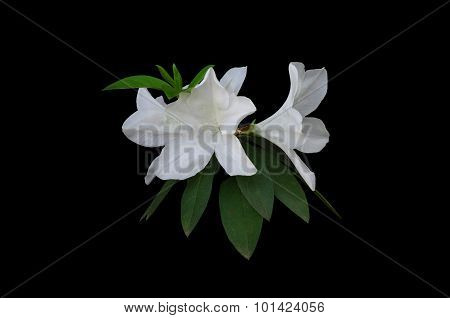 White Azalea  (rhododendron Simsii Planch)  Isolated On Black Background