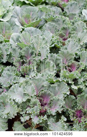 Longlived Cabbag (brassica Hybrid Cv. Pule)