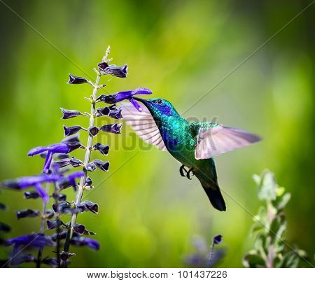 Green Violet Eared Hummingbird