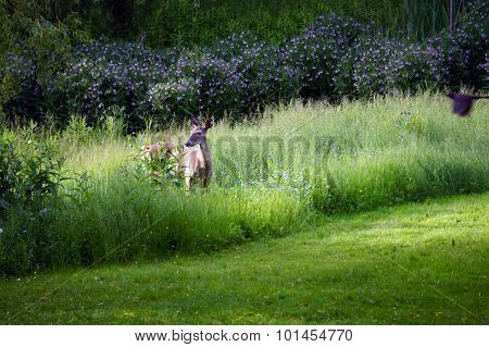 A whitetail doe (Odocoileus virginianus) stands in tall grass in Harbor Springs, Michigan. poster