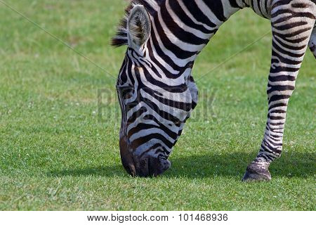 The Zebra Is Eating
