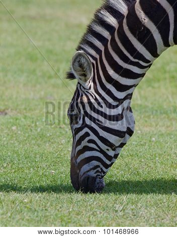 Zebra's Head Close-up