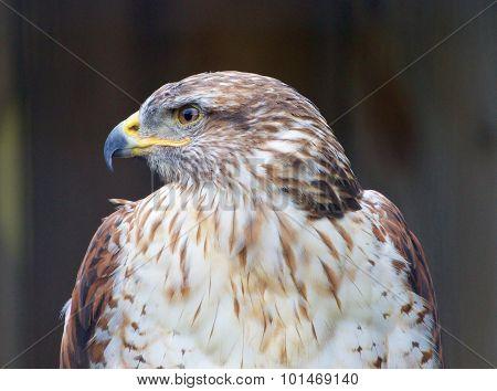 The Close-up Of A Ferruginous Hawk