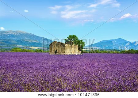 Lavender Flowers Blooming Field, Old House And Tree. Provence, Franc