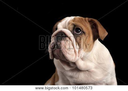 English Bulldog Puppy .