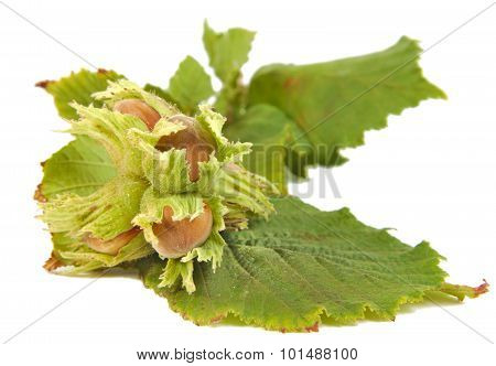 Hazel nuts or Corylus avellana with leaves isolated on a white background