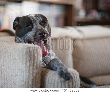 Drowsy pitbull on the couch