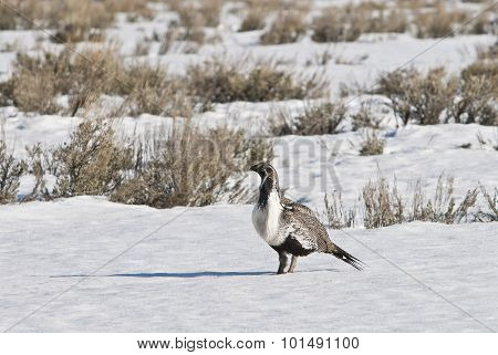 Sage Grouse (centrocercus Urophasianus)