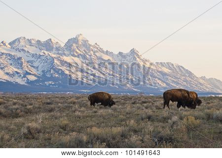 Tetons And Buffalo Grazing