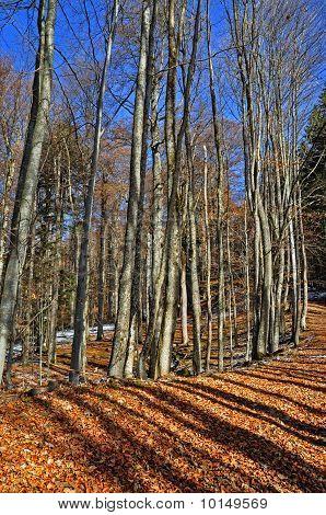 Autumn beechen wood.