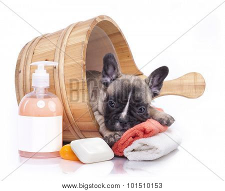 puppy bath time - French bulldog puppy in wooden wash