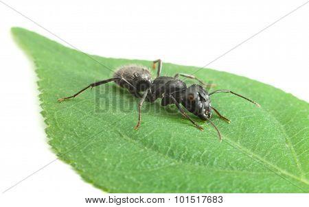Ant Creep On Leaf