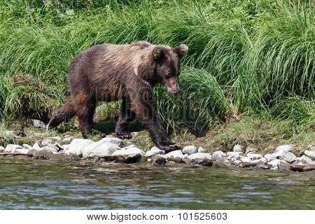 Kamchatka Brown Bear (ursus Arctos Piscator). Russia, Far East
