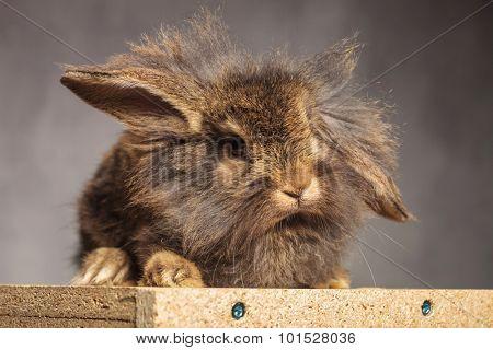 Adorable brown lion head rabbit bunny lying on a wood box, on grey studio background.
