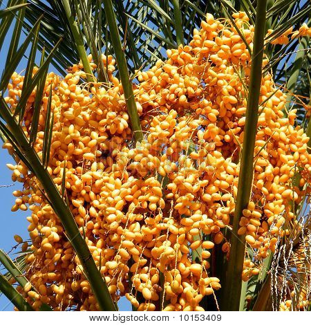 Yellow Dates of palm tree in Or Yehuda, Israel poster