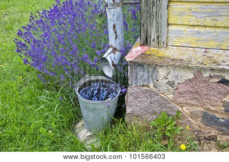 Rainwater Collected In A Bucket By The Building With Lavender Growing