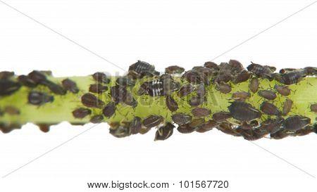 Black Aphid Infestation