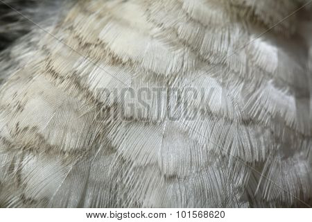 Laughing kookaburra (Dacelo novaeguineae) plumage texture. Wild life animal.  poster