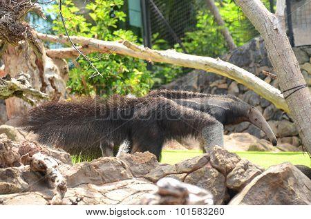 Giant anteater in Loro Park in Puerto de la Cruz on Tenerife, Canary Islands, Spain