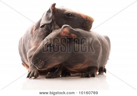 Skinny Guinea Pigs