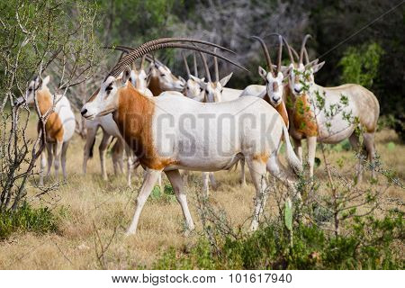 Scimitar Horned Oryx Bull
