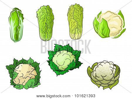 Cauliflower and chinese cabbage vegetables