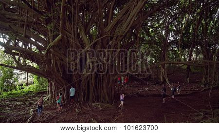 Large Banyan Tree At Wailuku River State Park In Hilo, Hawaii