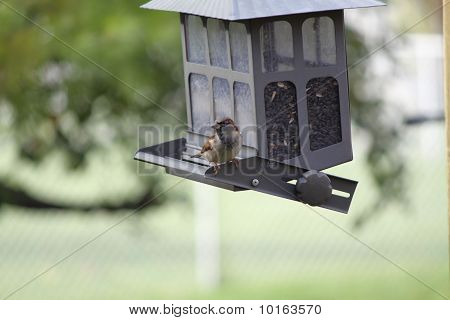 House Sparrow sitting on a bird feeder. It is the most widely distributed wild bird on the planet. poster