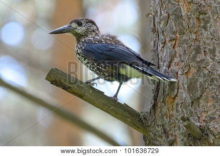 Nutcracker on a Tree Trunk