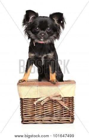 Chihuahua In Basket