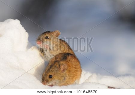 Two Friendly Mice In Snow