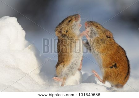 Winter Fight Of Two Striped Field Mice