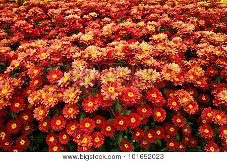 Red Zinnia Flowers In The Garden.